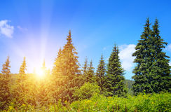 Spruce forest Royalty Free Stock Image