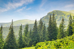 Spruce forest on the hillside Stock Photography