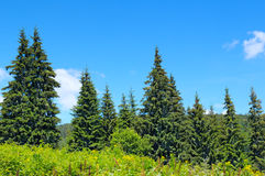 Spruce forest on the hillside Royalty Free Stock Photo