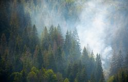 Spruce forest on hillside in smoke. Lovely nature disaster background Royalty Free Stock Images