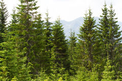 Spruce Forest In The Ukrainian Carpathians. Sustainable Clear Ecosystem Royalty Free Stock Photo