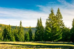 Spruce forest on a meadow at sunrise. Wonderful scenery in mountains Royalty Free Stock Image