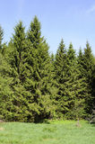 Spruce forest Royalty Free Stock Photography