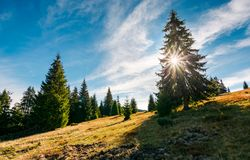 Spruce forest in morning sunlight. Beautiful landscape in mountains Stock Photography