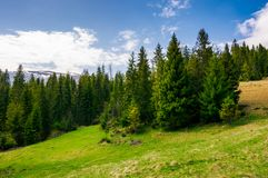 Spruce forest on a mountain hill side. Spruce forest on a hill side meadow in high mountains on a cloudy summer day Stock Images