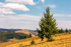 Spruce forest in springtime landscape. Spruce forest on mountain hillside. meadows with weathered grass on bright sunny day with blue sky and clouds. beautiful Royalty Free Stock Image