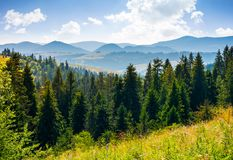 Spruce forest in mountains. Lovely summer landscape Royalty Free Stock Image