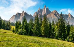 Spruce forest in mountains with rocky peaks. Spruce forest on grassy hillside in mountains with rocky peaks. gorgeous composite image of summer landscape Stock Photos