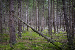 Spruce Forest Royalty Free Stock Images