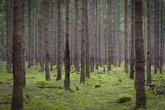 Spruce Forest Stock Photo