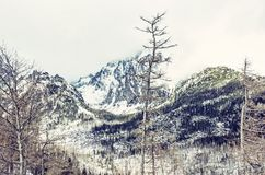 Spruce forest after natural disaster in High Tatras. Mountains, Slovak republic. Winter natural scene. Travel destination. Blue photo filter royalty free stock photo
