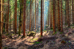 The spruce forest Royalty Free Stock Photo