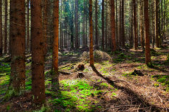 The spruce forest Stock Photo