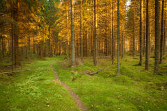 Spruce forest and path golden sunset light Royalty Free Stock Images