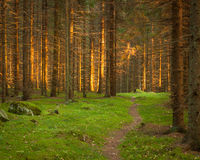 Spruce forest and path golden sunset light Royalty Free Stock Photography