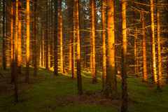 Spruce forest and path golden sunset light Stock Image