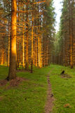 Spruce forest and path golden sunset light Stock Photos