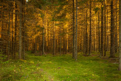 Spruce forest and path golden sunset light Stock Images