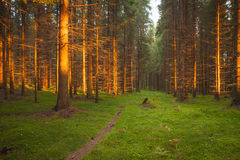 Spruce forest and path golden sunset light Stock Photo