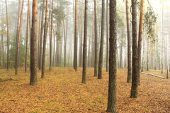 Spruce forest, pinery, pine forest, pinet tree Royalty Free Stock Photography