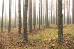 Spruce forest, pinery, pine forest, pinet tree Royalty Free Stock Photos