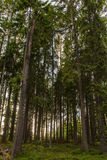 Spruce forest in the rays of the sun backlit. View from below stock photo