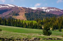 Spruce forest on rolling hills. Beautiful mountainous landscape in springtime stock image