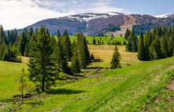 Spruce forest on rolling hills in springtime. Beautiful landscape with snowy tops of mountain ridge in the distance Stock Photography