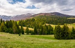 Spruce forest on rolling hills in springtime. Gorgeous landscape of Pylypets valley in Carpathian mountains, Borzhava mountain ridge with snowy tops in the royalty free stock photography