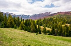 Spruce forest on rolling hills in springtime. Gorgeous landscape of Pylypets valley in Carpathian mountains, Borzhava mountain ridge with snowy tops in the stock photography