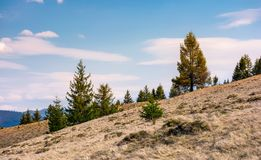 Spruce forest on a slope with weathered grass. Lovely nature scenery in springtime, some clouds on a blue sky Royalty Free Stock Photos