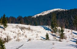 Spruce forest on a snow slopes in mountains. Lovely nature scenery in Carpathian countryside Royalty Free Stock Photography