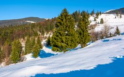 Spruce forest on a snowy hillside. Beautiful scenery on a bright winter day in mountains Stock Photography