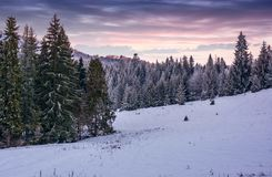 Spruce forest on a snowy hillside at dusk. Gorgeous winter scenery in mountains Stock Photography