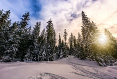 Spruce forest on snowy meadow in high mountains. Spruce forest on a meadow full of snow in mountains on a sunny winter day Stock Images