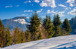 Spruce forest on snowy meadow in high mountains. Spruce forest on a meadow full of snow in mountains under blue cloudy sky on a sunny winter day Stock Image