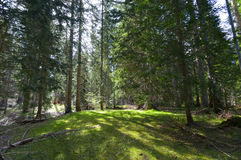 Spruce forest at spring Royalty Free Stock Photography