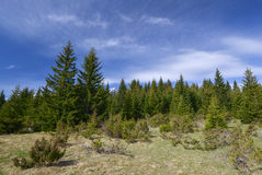 Spruce forest at spring Stock Photo