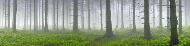 Spruce forest Stock Image