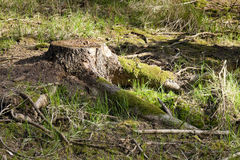 The spruce forest stump Royalty Free Stock Photos