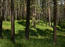Spruce forest in summer Royalty Free Stock Image