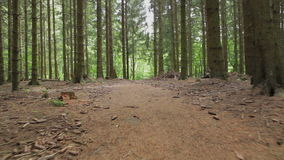 Spruce forest on a summer day. Camera movement along the trail in the spruce forest on a summer day. pine needle-free trunks and pine cones on the ground. For stock video footage