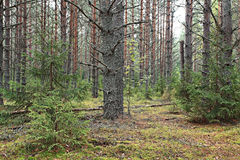 spruce forest in summer Royalty Free Stock Photos