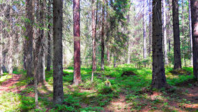 Spruce forest in the summer. The old trunks of large fir trees on a background of green grass and the passing away of coniferous forest Stock Photo