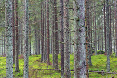 Spruce forest in summer Stock Photo