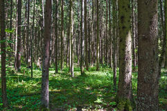 Spruce forest on a Sunny summer day. People look for and gather mushrooms Stock Photos