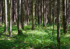 Spruce forest on a Sunny summer day Royalty Free Stock Image