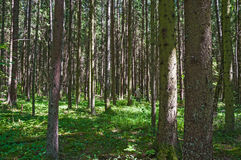 Spruce forest on a Sunny summer day. Stock Photography