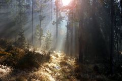 Spruce forest at sunrise Royalty Free Stock Photography