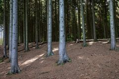 Spruce Forest Stock Images